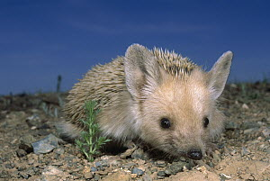 Long-eared Hedgehog (Hemiechinus auritus), Gobi Desert, Mongolia  -  Pete Oxford