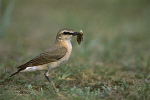 Isabelline Wheatear (Oenanthe isabellina) with insect prey near Amarbayasgalant, Mongolia - Pete Oxford