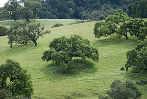 Coast Live Oak (Quercus agrifolia) group on hillside in spring, central California  -  Norbert Wu
