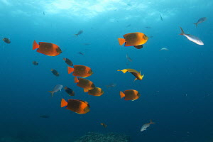 Clarion Angelfish (Holacanthus clarionensis) school, Revillagigedos Islands, Mexico  -  Norbert Wu