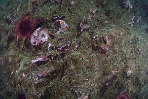 Red Sea Urchin (Strongylocentrotus franciscanus) and brittlestars, Campbell River, Vancouver Island, British Columbia, Canada  -  Norbert Wu
