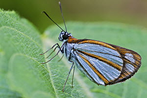 Cloud-forest Fantastic-Skipper (Vettius coryna) butterfly, Mindo, western slope of Andes, Ecuador  -  James Christensen