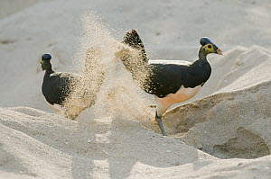 Maleo (Macrocephalon maleo) pair digging nest to lay eggs in sand, Sulawesi, Indonesia  -  Kevin Schafer/ AITo