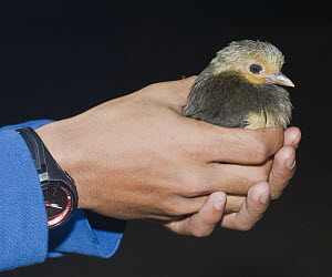 Maleo (Macrocephalon maleo) chick held by researcher after hatching in sand, Sulawesi, Indonesia  -  Kevin Schafer/ AITo