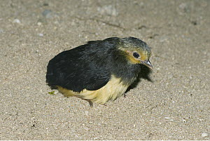 Maleo (Macrocephalon maleo) chick after hatching in sand, Sulawesi, Indonesia  -  Kevin Schafer/ AITo
