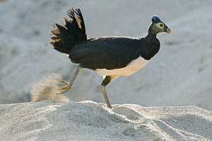 Maleo (Macrocephalon maleo) digging nest to lay eggs in sand, Sulawesi, Indonesia  -  Kevin Schafer/ AITo