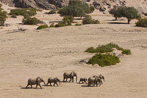 African Elephant (Loxodonta africana) herd walking in dry river bed, Skeleton Coast, Namib Desert, Namibia - Theo Allofs
