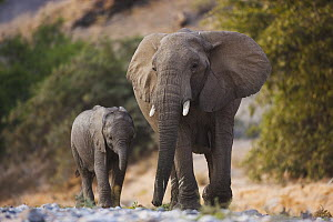 African Elephant (Loxodonta africana) mother and calf walking in dry river bed, Skeleton Coast, Namib Desert, Namibia - Theo Allofs