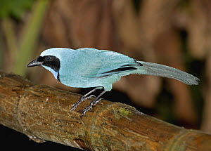 Turquoise Jay (Cyanolyca turcosa) in cloud forest, Tandayapa Valley, western slope of Andes, Ecuador - Michael & Patricia Fogden