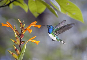 White-necked Jacobin (Florisuga mellivora) hummingbird male feeding on nectar of Canna (Canna sp) flower in cloud forest, Tandayapa Valley, western slope of Andes, Ecuador  -  Michael & Patricia Fogden
