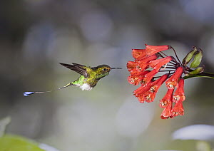 Booted Racket-tail (Ocreatus underwoodii) hummingbird male feeding on nectar of Bomarea (Bomarea multiflora) flower in cloud forest, Tandayapa Valley, western slope of Andes, Ecuador  -  Michael & Patricia Fogden
