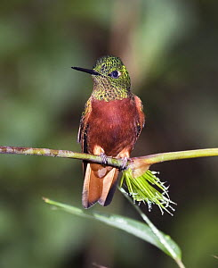 Chestnut-breasted Coronet (Boissonneaua matthewsii) in cloud forest, eastern slope of Andes, Ecuador  -  Michael & Patricia Fogden