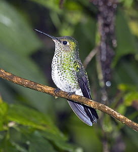 Many-spotted Hummingbird (Taphrospilus hypostictus), eastern slope of Andes, Ecuador  -  Michael & Patricia Fogden