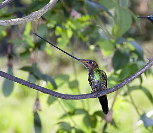 Sword-billed Hummingbird (Ensifera ensifera) male in temperate forest, Verdecocha Ecological Reserve, western slope of Andes, Ecuador  -  Michael & Patricia Fogden