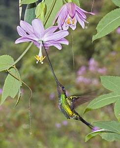 Sword-billed Hummingbird (Ensifera ensifera) male feeding on nectar of Rosy Passion Fruit (Passiflora cumbalensis) flower in temperate forest, Verdecocha Ecological Reserve, western slope of Andes, Ec...  -  Michael & Patricia Fogden