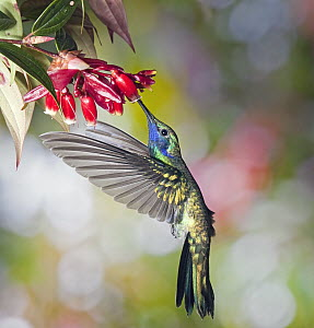 Sparkling Violet-ear (Colibri coruscans) hummingbird male feeding on nectar of Heath (Cavendishia bracteata) flower in cloud forest, Tandayapa Valley, western slope of Andes, Ecuador - Michael & Patricia Fogden
