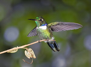Wedge-billed Hummingbird (Augastes geoffroyi) male stretching wings in cloud forest, Tandayapa Valley, western slope of Andes, Ecuador  -  Michael & Patricia Fogden