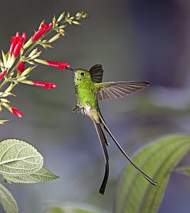 Green-tailed Trainbearer (Lesbia nuna) hummingbird male feeding on nectar of Sage (Salvia sp) flower in temperate forest, Ecuador  -  Michael & Patricia Fogden