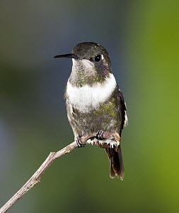 Purple-throated Woodstar (Philodice mitchellii) hummingbird male in cloud forest, Tandayapa Valley, western slope of Andes, Ecuador  -  Michael & Patricia Fogden