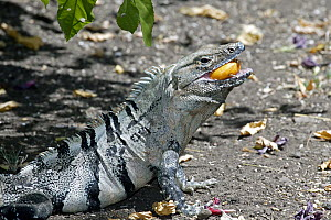 Black Spiny-tailed Iguana (Ctenosaura similis) male feeding on Cashew (Anacardium occidentale) fruit in dry forest, Guanacaste, Costa Rica  -  Michael & Patricia Fogden