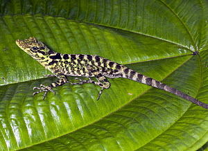 Fitch's Anole (Anolis fitchi), eastern slope of Andes, Ecuador  -  Michael & Patricia Fogden