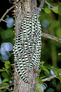 Saturniid Moth (Arsenura armida) caterpillars clustered together prior to pupation in dry forest, Guanacaste, Costa Rica  -  Michael & Patricia Fogden