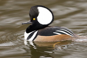 Hooded Merganser (Lophodytes cucullatus) male, Kellogg Bird Sanctuary, Michigan - Steve Gettle