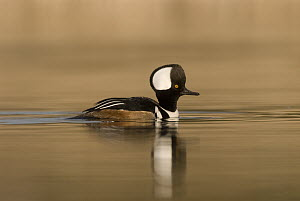 Hooded Merganser (Lophodytes cucullatus) male swimming, Kellogg Bird Sanctuary, Michigan - Steve Gettle