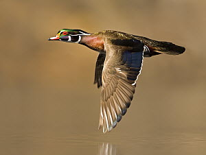 Wood Duck (Aix sponsa) male flying, Lapeer State Game Area, Michigan - Steve Gettle