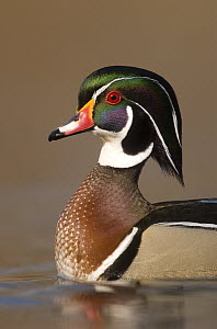 Wood Duck (Aix sponsa) male in breeding plumage, Lapeer State Game Area, Michigan - Steve Gettle