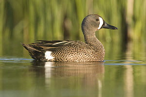 Blue-winged Teal (Anas discors) male, J. Clark Salyer National Wildlife Refuge, North Dakota  -  Steve Gettle