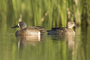 Blue-winged Teal (Anas discors) male and female, J. Clark Salyer National Wildlife Refuge, North Dakota  -  Steve Gettle