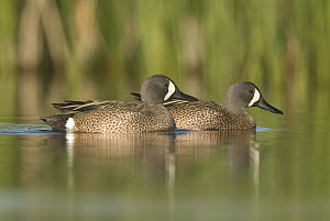 Blue-winged Teal (Anas discors) males, J. Clark Salyer National Wildlife Refuge, North Dakota  -  Steve Gettle