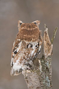 Eastern Screech Owl (Megascops asio) red morph, rotating head 180 degrees, Howell Nature Center, Michigan. Sequence 2 of 2 - Steve Gettle