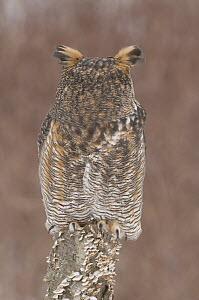 Great Horned Owl (Bubo virginianus), rotating head 180 degrees, Howell Nature Center, Michigan. Sequence 2 of 2 - Steve Gettle