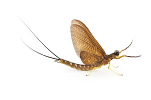 Mayfly subimago, La Selva Biological Research Station, Heredia, Costa Rica  -  Piotr Naskrecki