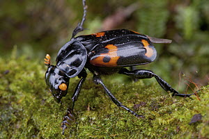 Sexton Beetle (Nicrophorus sp) with aposematic coloration, Nakanai Mountains, New Britain, Papua New Guinea  -  Piotr Naskrecki
