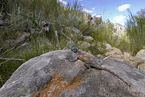 Southern Rock Agama (Agama atra) in shrubland, Cederberg Wilderness Area, Western Cape, South Africa  -  Piotr Naskrecki