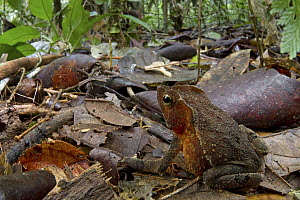 Crested Forest Toad (Bufo margaritifer) in rainforest, Sipaliwini, Surinam  -  Piotr Naskrecki