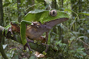 Giant Monkey Frog (Phyllomedusa bicolor) in rainforest, Brownsberg Reserve, Surinam - Piotr Naskrecki