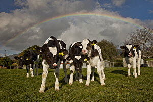 Domestic Cattle (Bos taurus) calves during spring rainshower with rainbow overhead, Takaka, Golden Bay, New Zealand  -  Colin Monteath