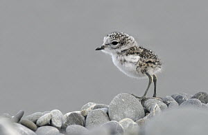 Double-banded Plover (Charadrius bicinctus) newly hatched chick, Lake Ellesmere, New Zealand  -  Jonathan Harrod