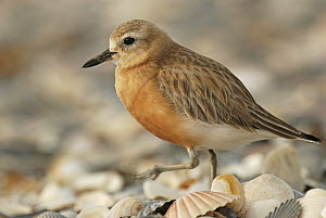 Red-breasted Plover (Charadrius obscurus) walking amongst shells, Omaha Beach, New Zealand  -  Jonathan Harrod