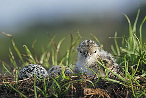 Black-winged Stilt (Himantopus himantopus) newly hatched chick sits on nest with remaining eggs, Christchurch, New Zealand  -  Jonathan Harrod