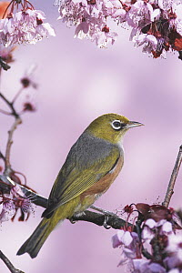 Silvereye (Zosterops lateralis) on cherry blossom in spring, Christchurch, New Zealand  -  Jonathan Harrod