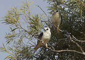 Letter-winged Kite (Elanus scriptus) and juvenile, Diamantina National Park, Queensland, Australia  -  Martin Willis