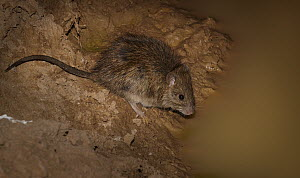 Long-haired Rat (Rattus villosissimus) drinking, Diamantina National Park, Queensland, Australia - Martin Willis