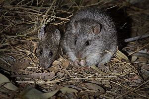 Long-haired Rat (Rattus villosissimus) pair feeding at night, Diamantina National Park, Queensland, Australia - Martin Willis