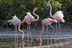 Greater Flamingo (Phoenicopterus ruber) pair in territorial display while two other feed, Galapagos Islands, Ecuador  -  Tui De Roy