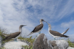 Blue-footed Booby (Sula nebouxii) pair in courtship dance with another male trying to court female, Galapagos Islands, Ecuador  -  Tui De Roy
